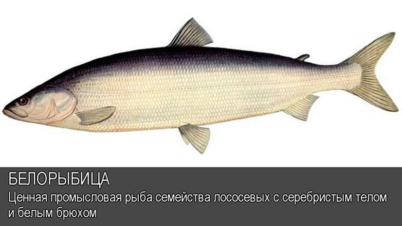 Рыба нельма