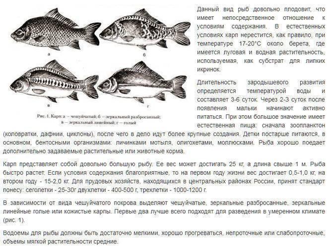 Карп: рыба карп фото и описание, нерест, способы ловли, образ жизни, приманки, блюда из карпа,, калорийность
