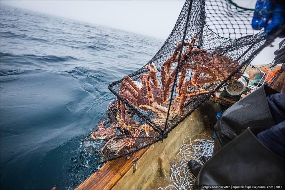 Ловля камчатского краба в море: сезонность промысла и способы добычи
