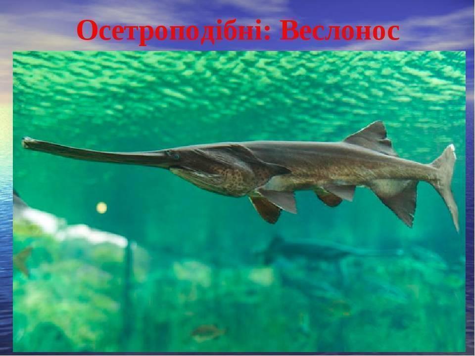 Рыба «Веслонос» фото и описание