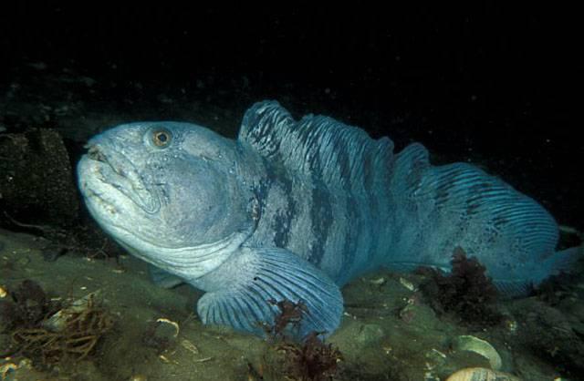 Зубатка синяя: что за рыба, как выглядит, где водится, полезные свойства