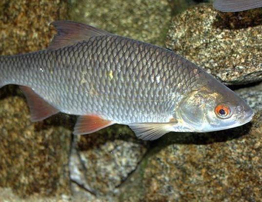 Вырезуб - что это за рыба и хитрости профессионалов по ее вылову (видео + 95 фото)