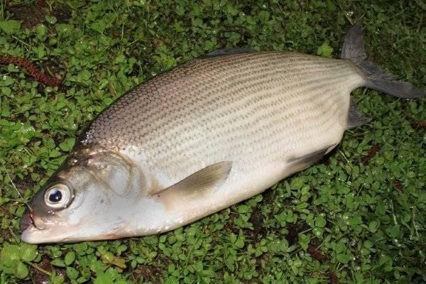 Пелядь описание что за рыба | где водится пелядь (сырок)