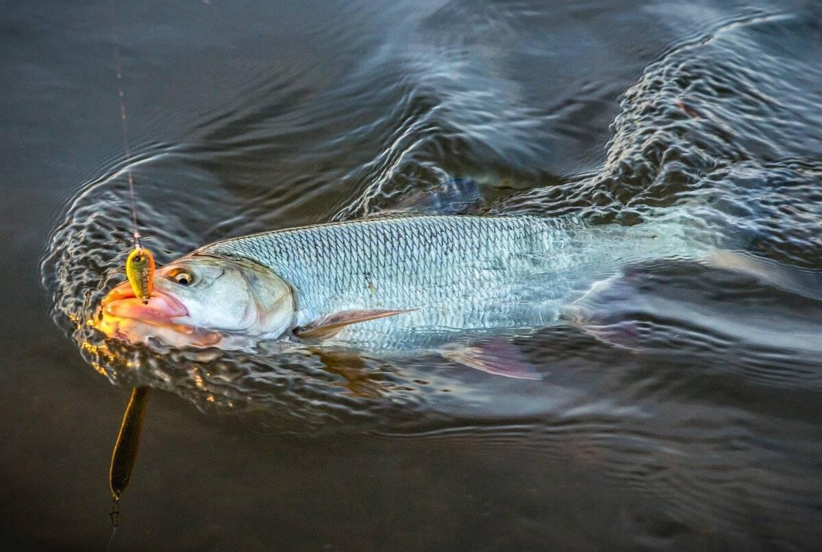 Жерех вкусная рыба или нет