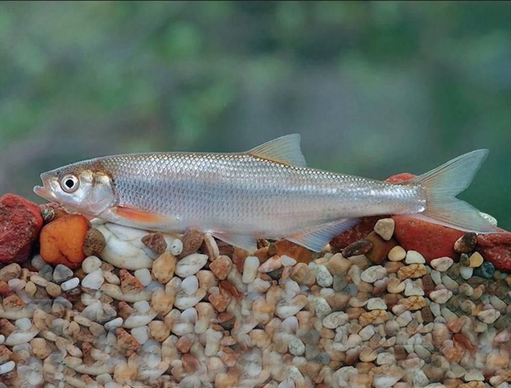 Рыба «Шемая азово-черноморская» фото и описание