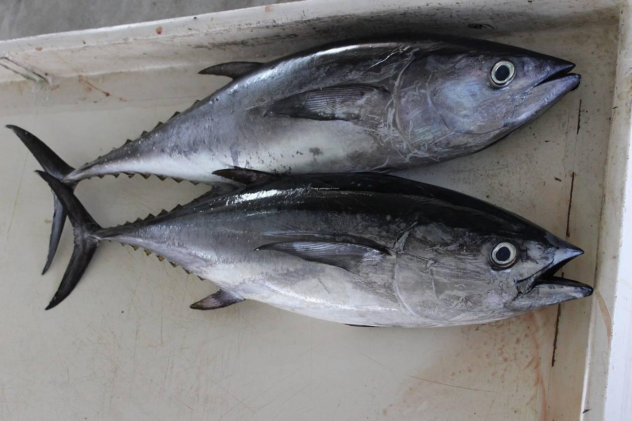 Пеламида рыба. образ жизни и среда обитания рыбы пеламиды | животный мир