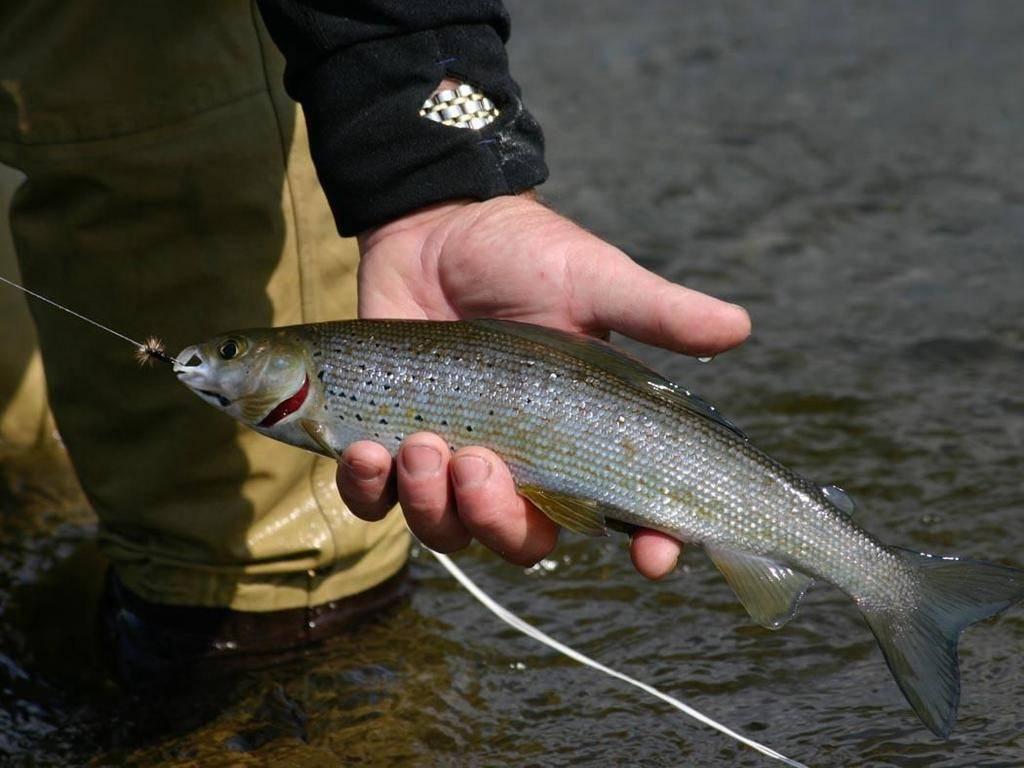 Ручьевой хариус в кемеровской области — рыбалка в кемеровской области