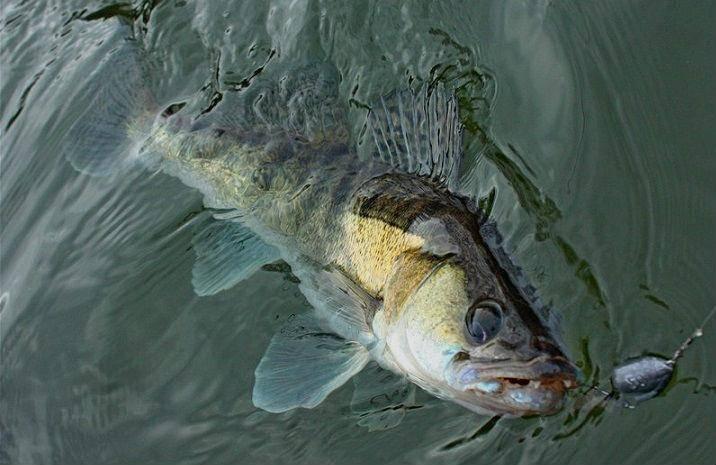 Как ловить судака? видео   топ-3 лучших способа