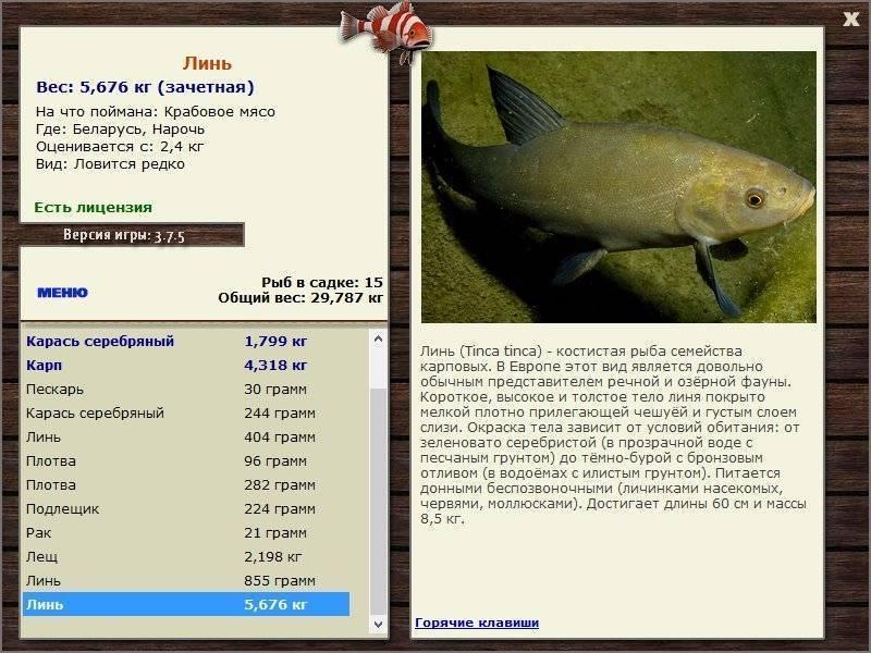 Рыба- линь — фото, видео, описание рыбы