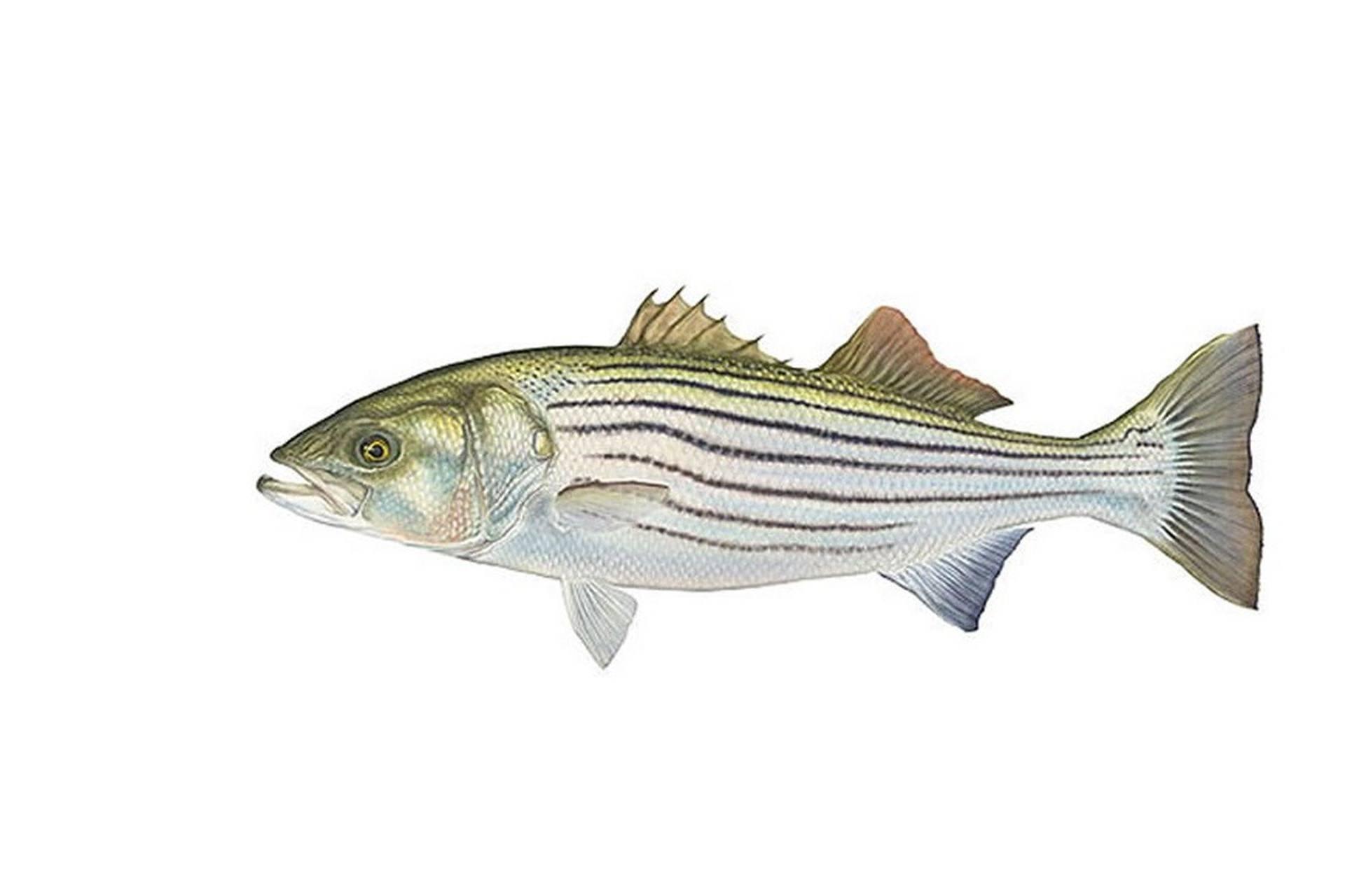 Рыба басс: краткое описание, среда обитания, особенности и свойства