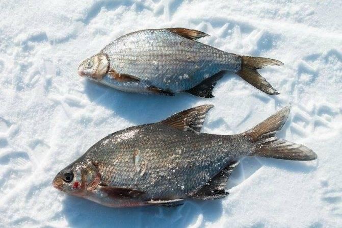В чем отличие густеры от подлещика, чем могут отличаться эти рыбы, как их проще всего различить?