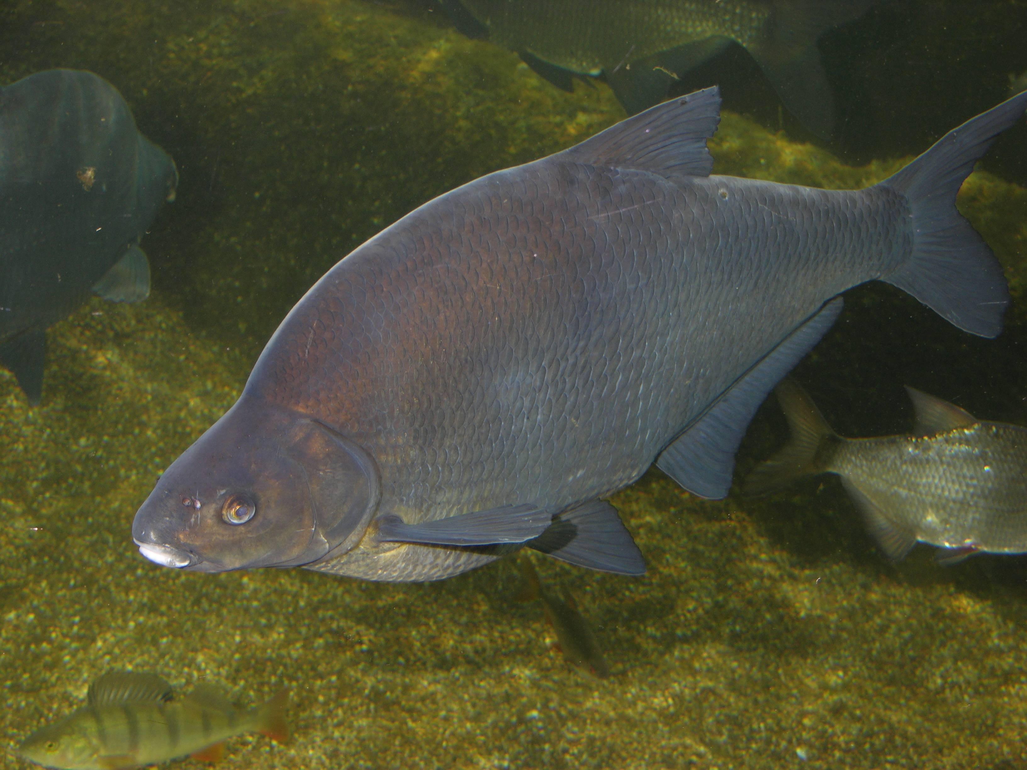 Рыба амур (белый, черный): описание и фото, как выглядит, где обитает