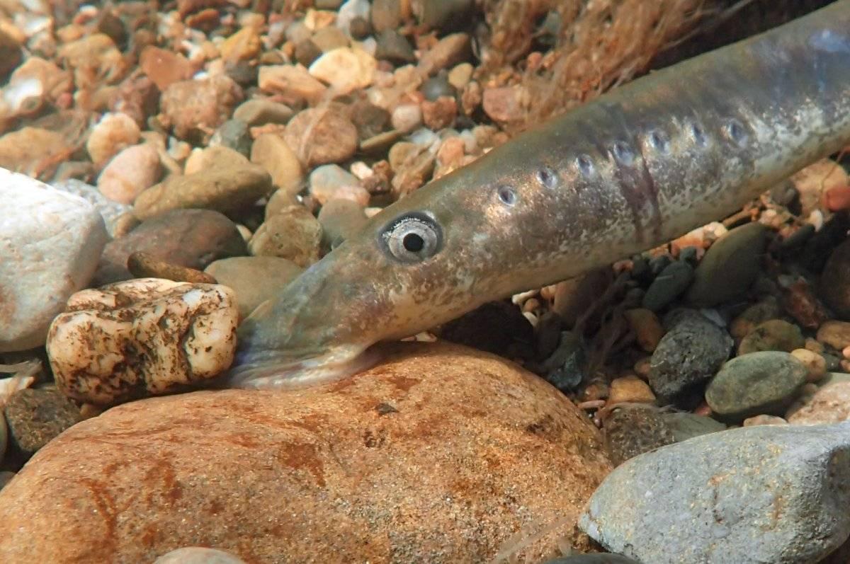 Венгерская минога: 115 фото рыбы, правила ее ловли, места обитания и способы приготовления