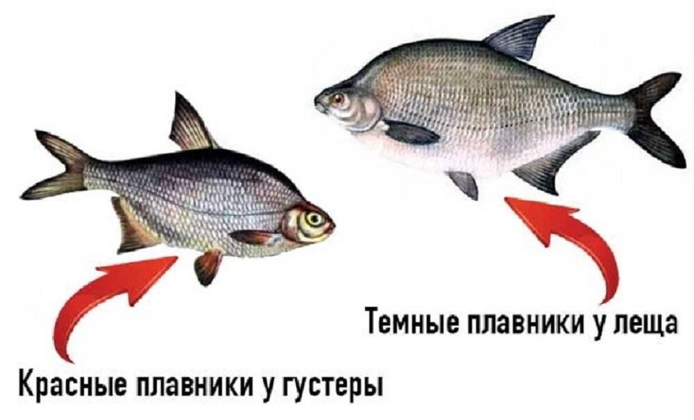 Разница между лещом и подлещиком или особенности ловли трофеев