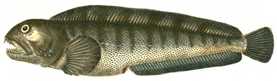 Рыба зубатка: польза и вред