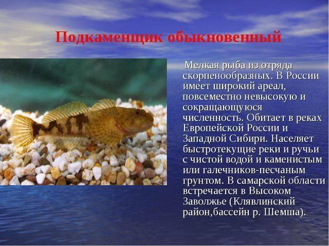 Як животное. описание, особенности, виды, образ жизни и среда обитания яка   живность.ру