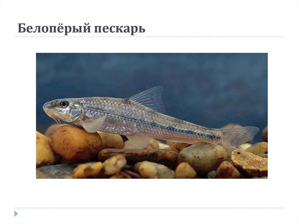 Пескарь обыкновенный: фото рыбы, чем питается, как выглядит, на что ловить