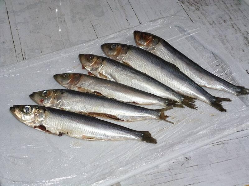 Салака: польза и вред для организма, калорийность и полезные свойства рыбы для здоровья человека