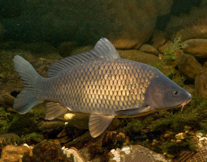 Виды пресноводных рыб из семейства карповых