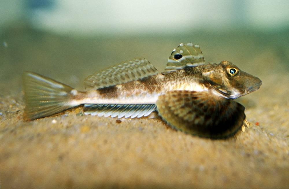 Морской петух (рыба): описание, фото :: syl.ru