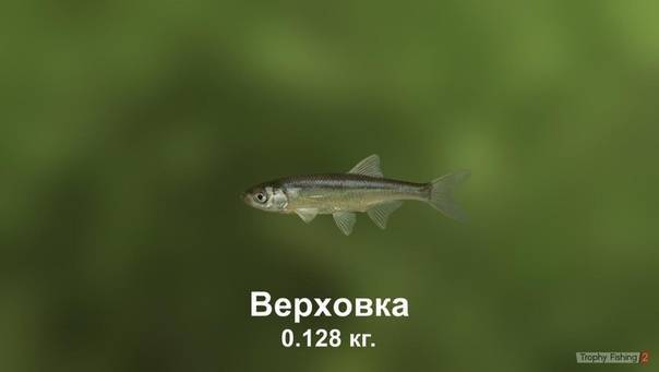Уклейка: что это за рыба себель, уклея, верхоплавка, где ловят