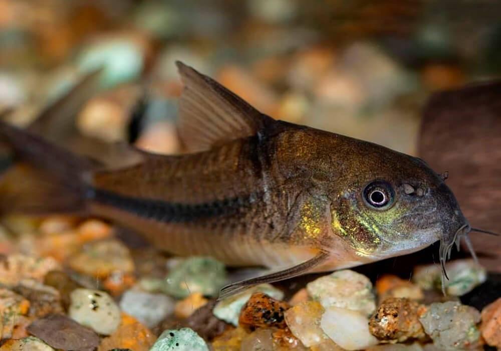 15 лучших видов аквариумных сомов