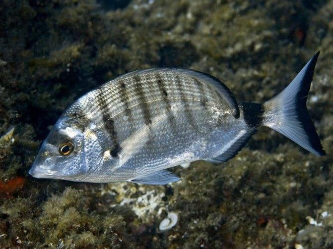 Какая рыба водится в черном море?
