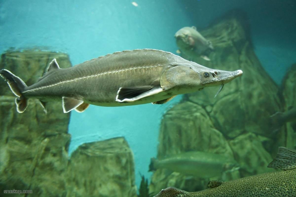 Осетр: описание рыбы, среда обитания, чем питается в природе