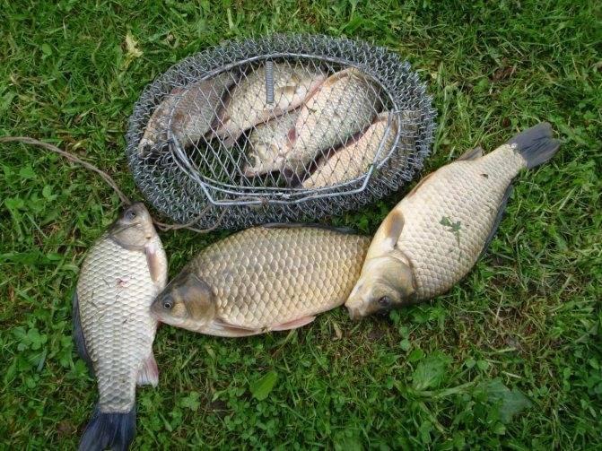 Ловля карася весной – секреты хорошей рыбалки