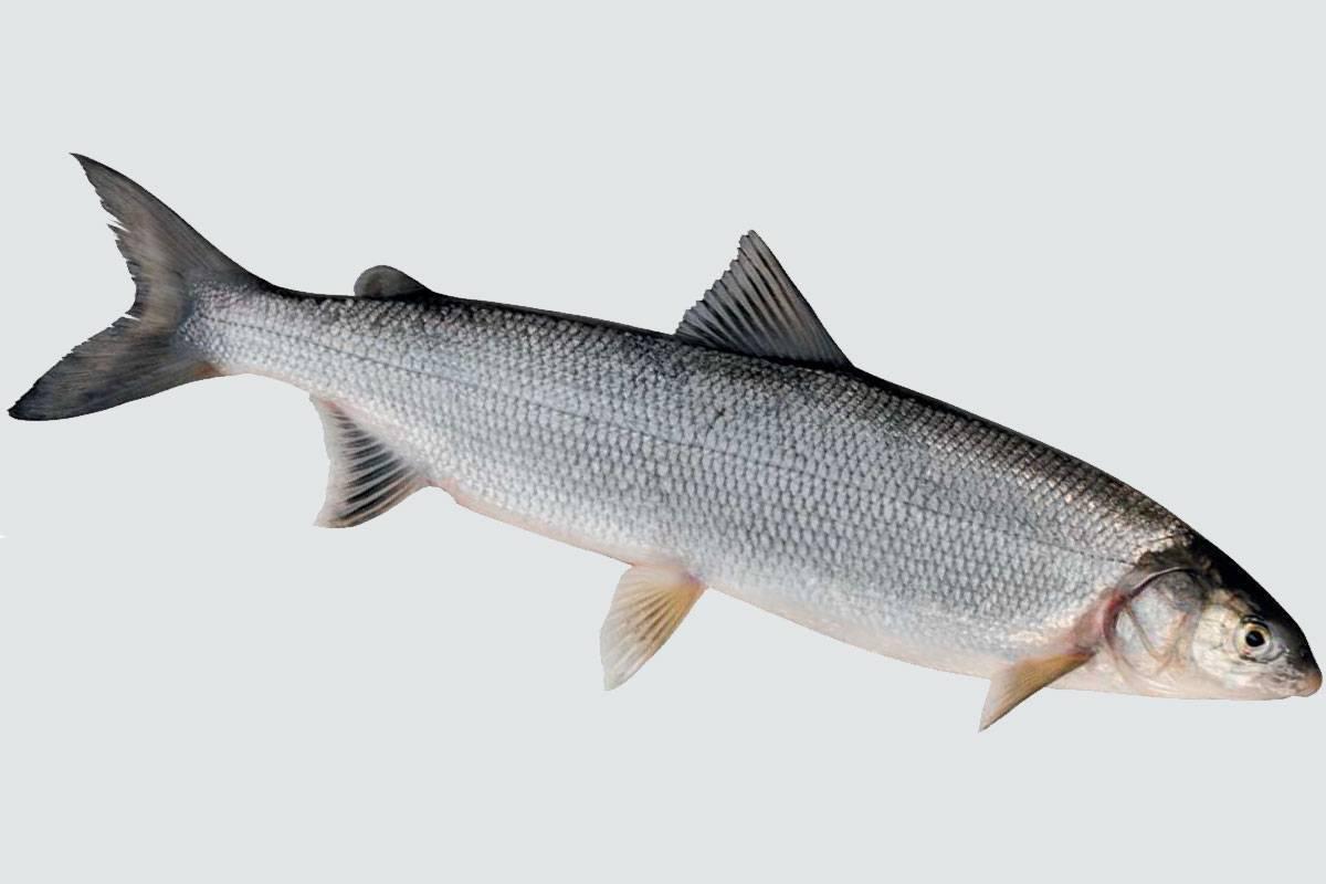 Сиги (лат. coregonus)