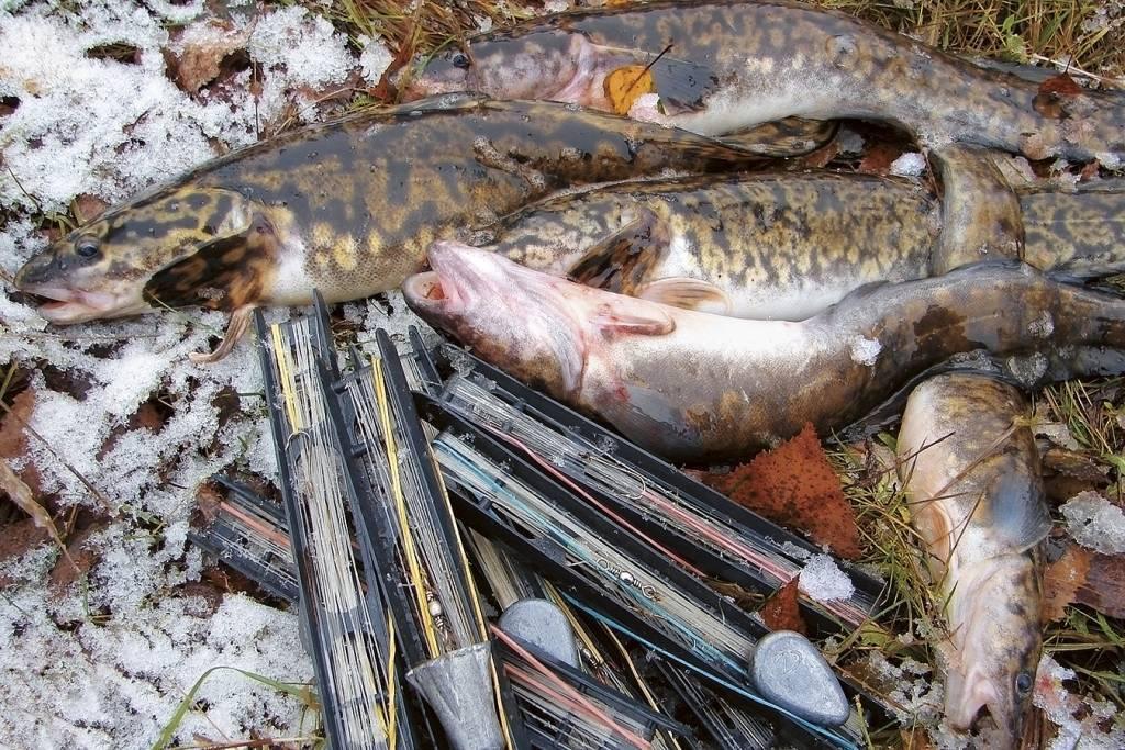Ловля налима осенью на закидушку: снасть, наживка и техника