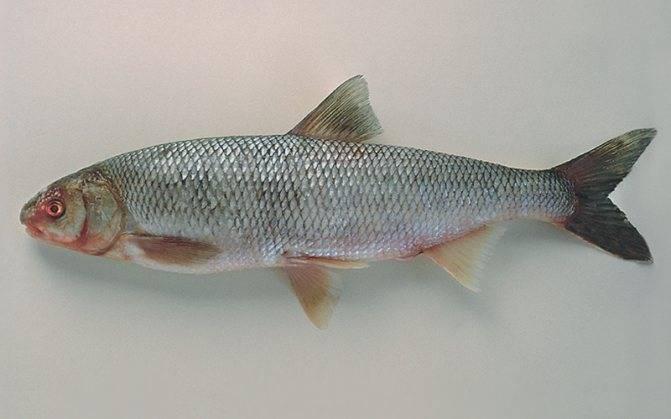 Терпуг: что это за рыба, где водится (морская или речная), как правильно ловить