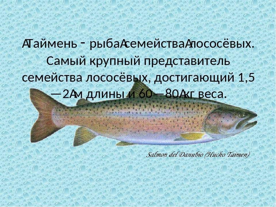 Лососевые: рыбы семейства лососевых, список представителей