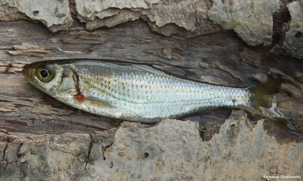 Верховка фото и описание – каталог рыб, смотреть онлайн