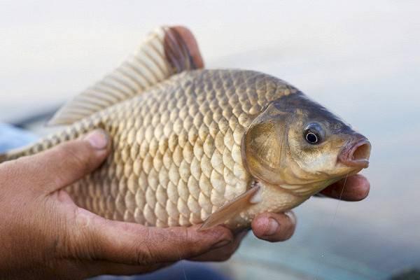 Как поймать большого карася: секреты удачной рыбалки