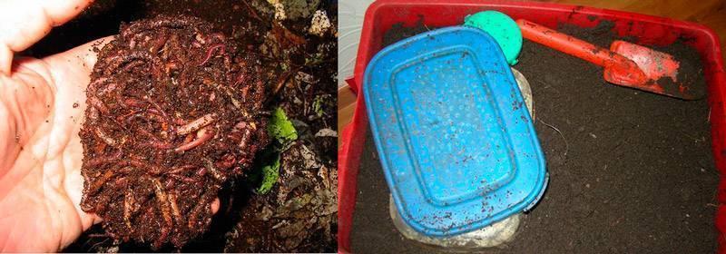 Как сохранить червей для рыбалки в домашних условиях: летом, в холодильнике, чем кормить