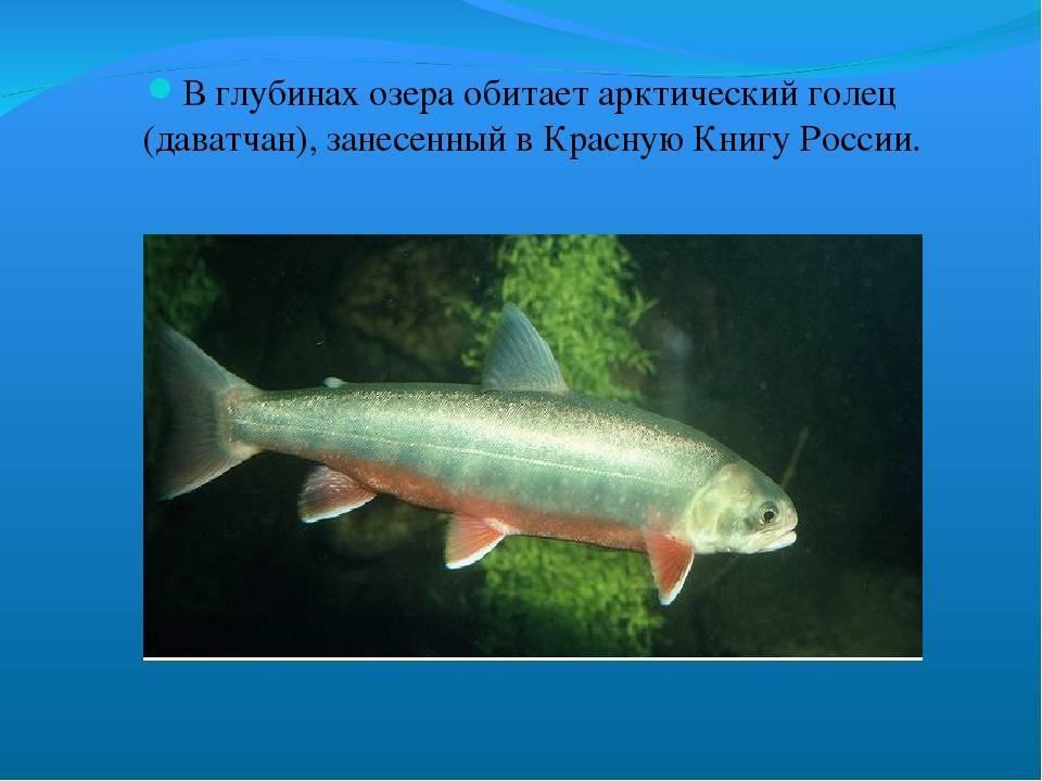 Рыба голец: характеристика вида и где обитает, польза и вред от употребления, способы приготовления