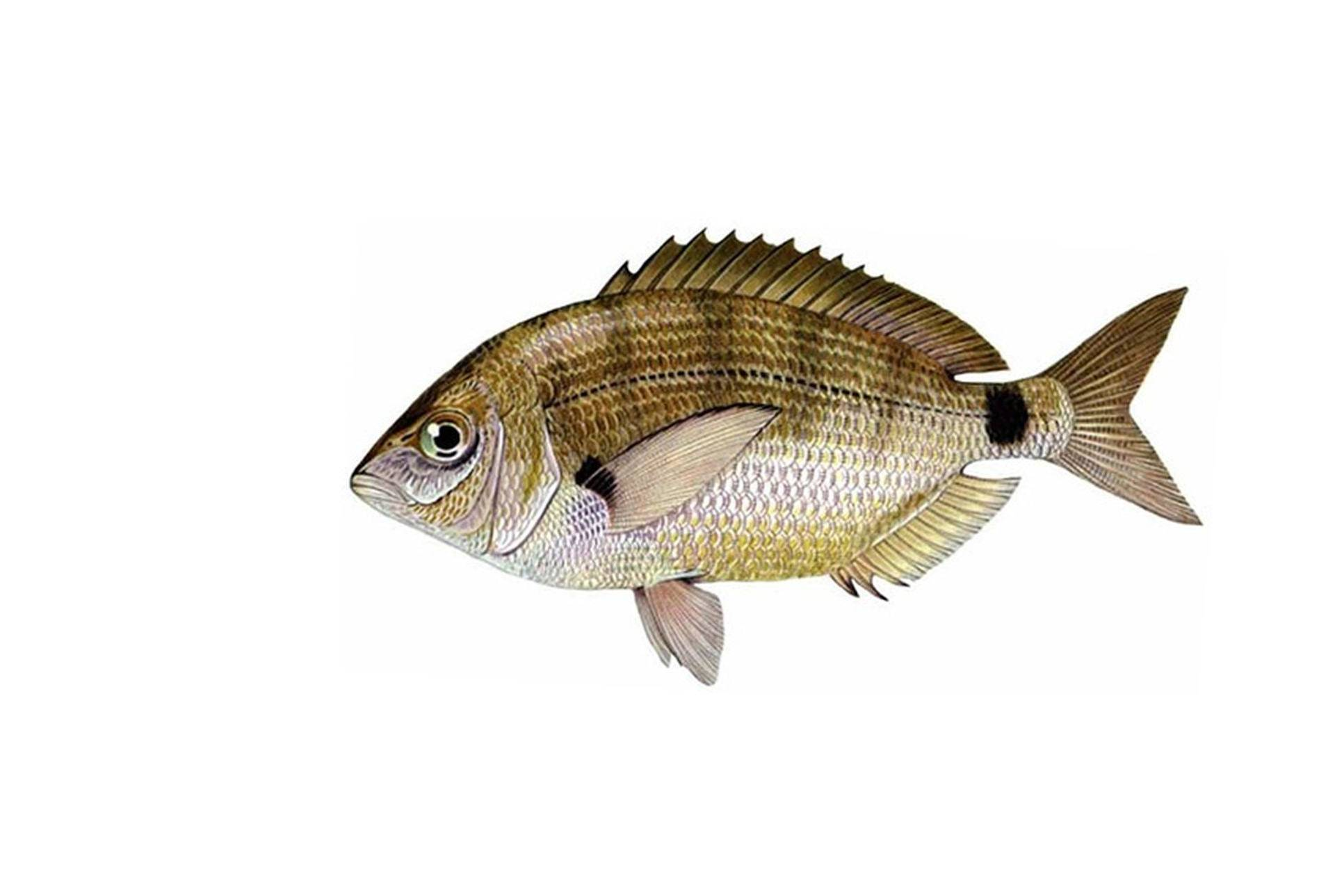 Морской карась — как называется, особенности рыбалки в черном море