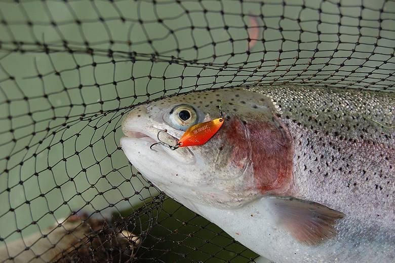 Форелевая рыбалка в подмосковье: где без нормы вылова ловить форель в московской области? когда лучше рыбачить?