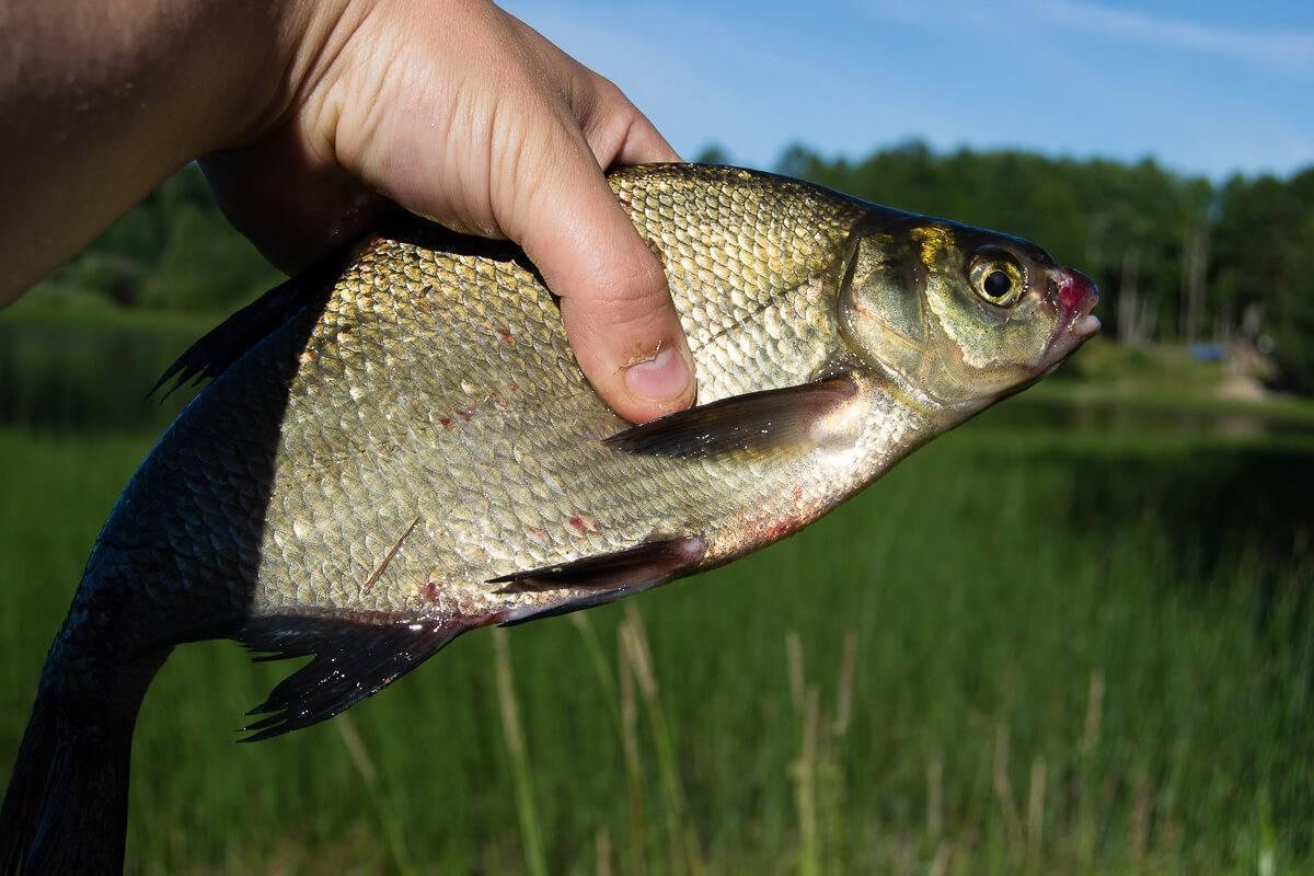 Лещ (рыба). фото и описание | весом до 8 килограмм