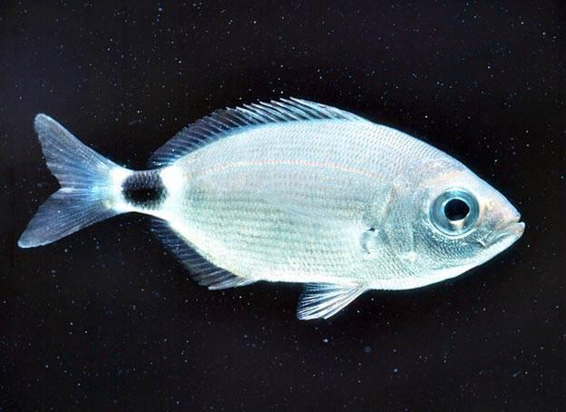Чир - северная рыба, полное описание с фото