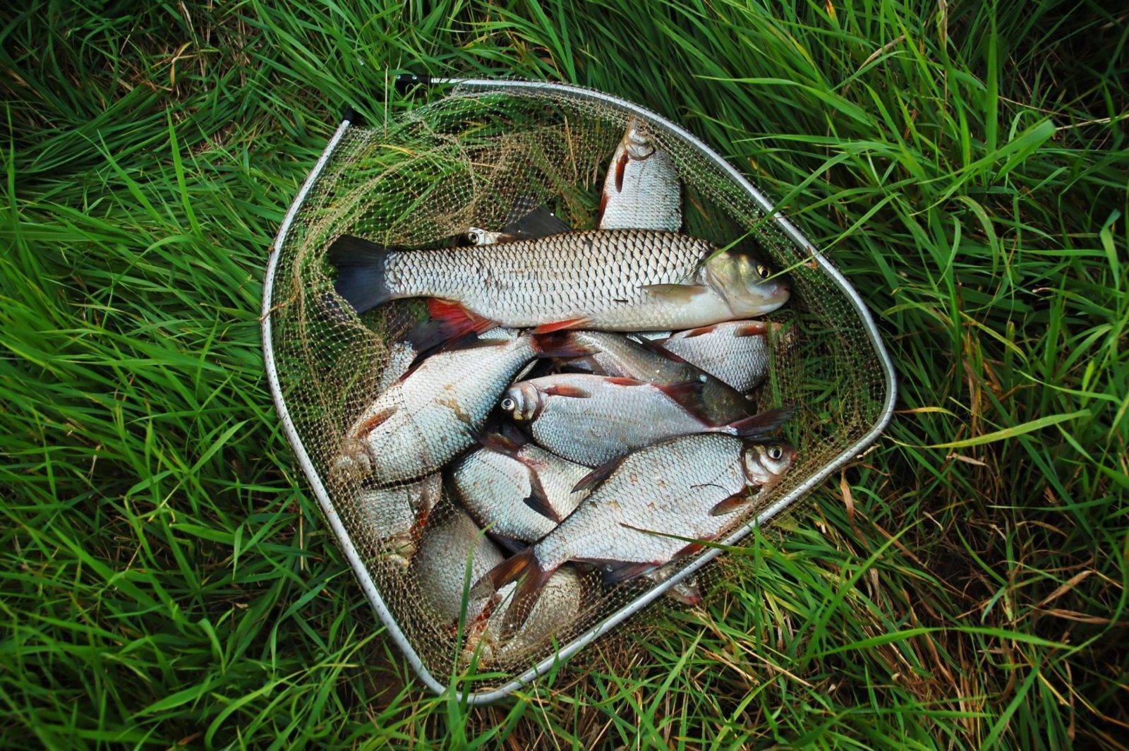 Ловля плотвы | как ловить плотву лучше всего - рыбколов!