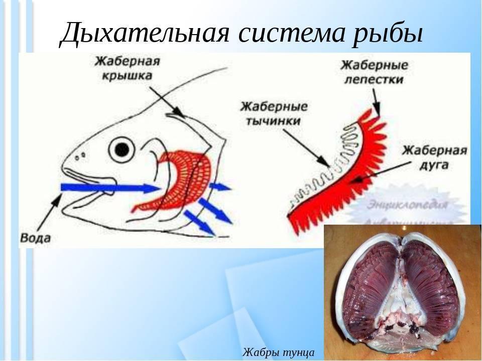 Как дышат рыбы: строение жабр, вспомогательные органы, факты