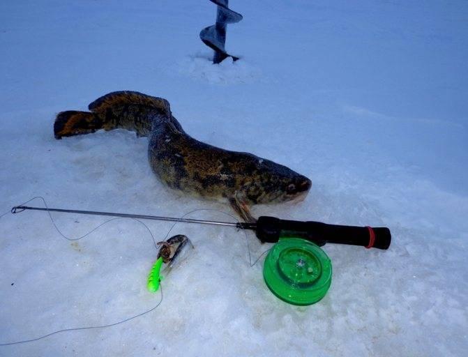 Ловля налима на стукалку и жерлицы зимой: снасть, наживки, техника ловли