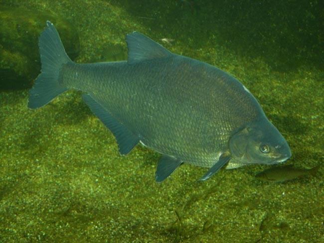 Рыба сопа: описание, места обитания, ловля