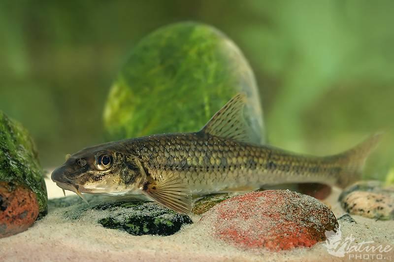 Рыба пескарь, фото и описание, внешний вид
