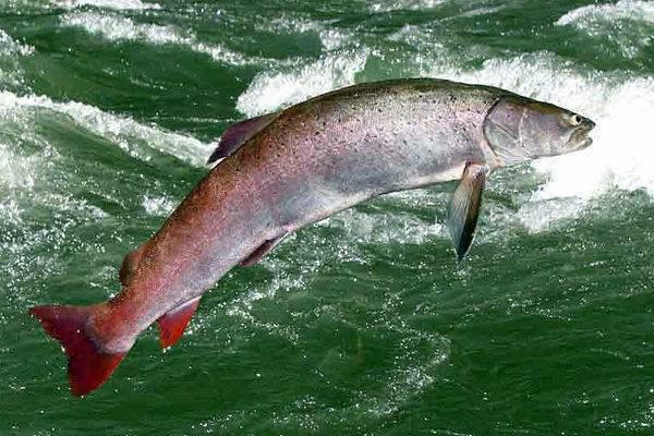 Таймень рыба фото описание цвет мяса ⋆ онлайн-журнал для женщин