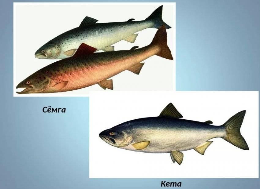 Рыба кета: польза и вред, химический состав, противопоказания