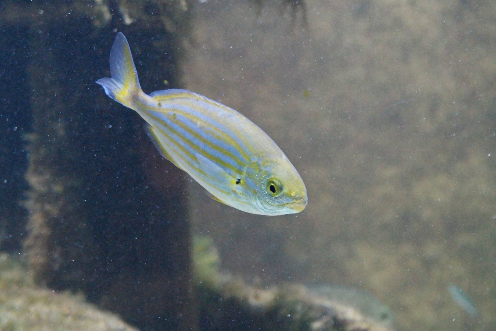Сарпа (рыба)