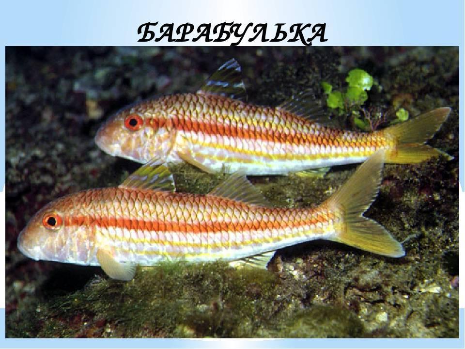 Барабулька: что за рыба, описание, фото, где водится, как приготовить, польза